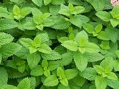 Antioxidants vs Radiation: Lemon Balm!